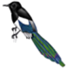 Magpie (Black-billed)