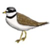 Plover (Semipalmated)