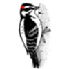 Hairy Woodpecker Connect-the-Dots Activity