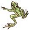 Leopard Frog Drawing Lesson