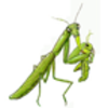 Preying Mantis Labeling Page