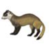 Ferret (Black-footed)