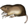 Pocket Gopher (Northern)