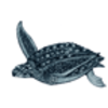 Sea Turtle (Leatherback)