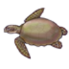Sea Turtle (Loggerhead)