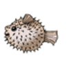 Puffer Fish (Northern)