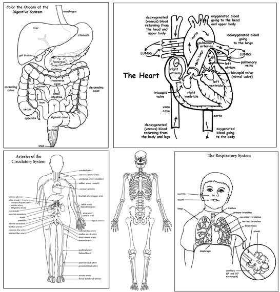 human body activity bundle  high school  u0026 college