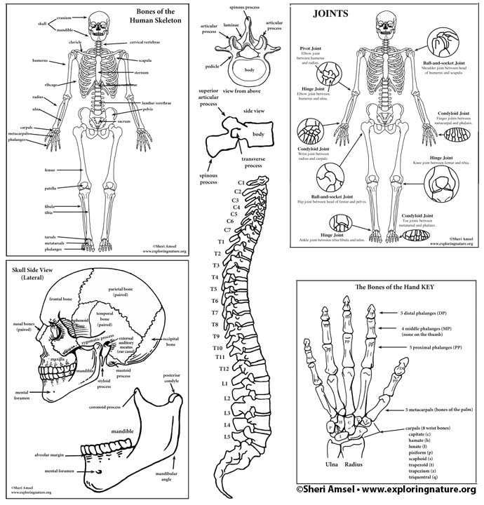 Skeletal System Diagram Bundle High School College