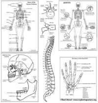 Skeletal System Diagram Bundle (High School & College) - Downloadable Only