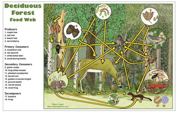 deciduous forest food web poster downloadable only rh exploringnature org Temperate Rainforest Diagram diagram of deciduous forest layers