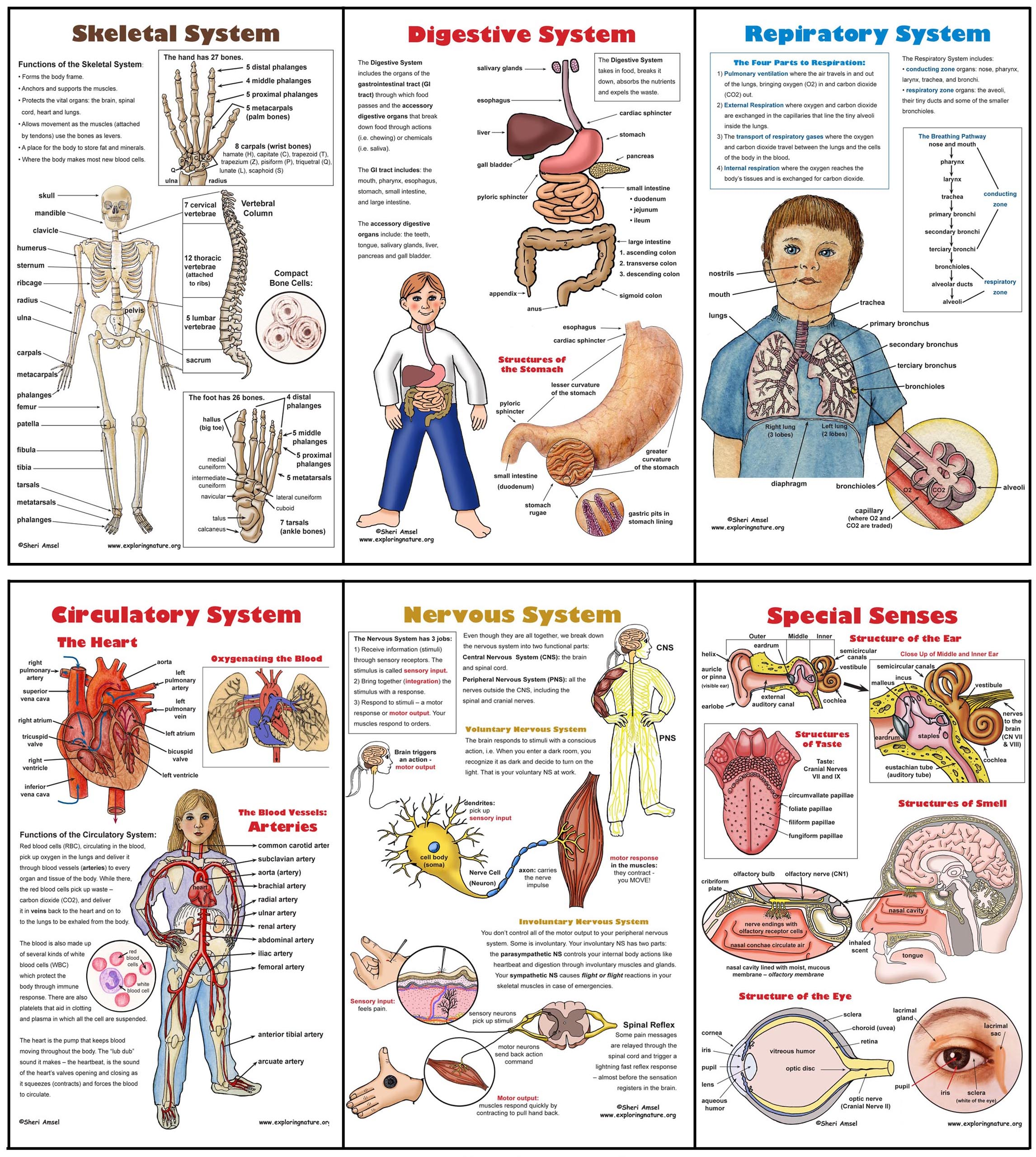 body systems poster set 6 plus worksheets. Black Bedroom Furniture Sets. Home Design Ideas